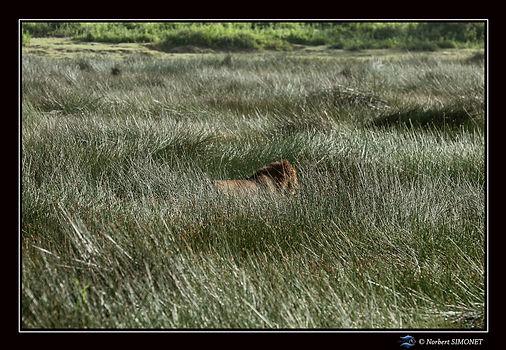 Lion marche dans les joncs - Cadre Paysa