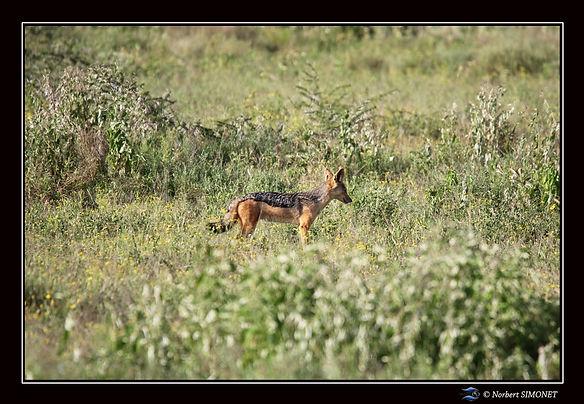 Chacal seul dans les herbes - Cadre pays