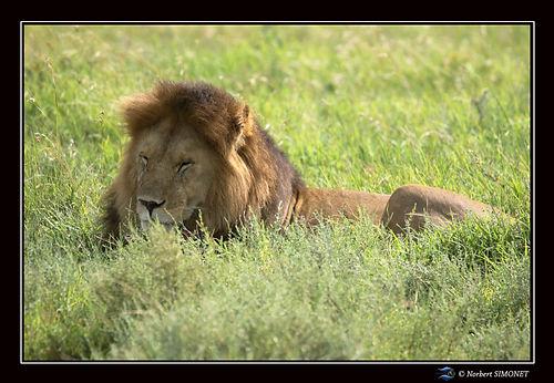 Lion_couché_dans_les_herbes_somnole_-_C