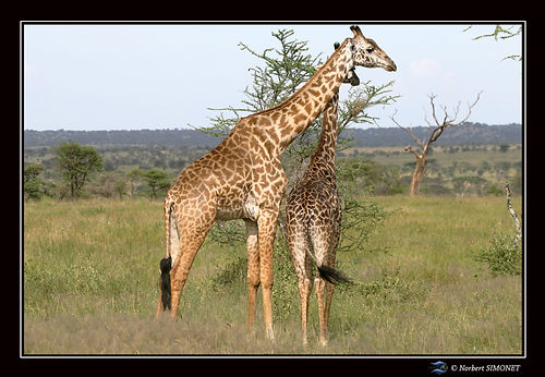 Girafe et girafon dans la brousse bis -