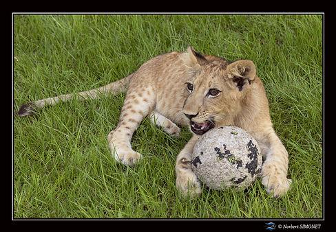 Lionceau joue avec un ballon bis - Cadre