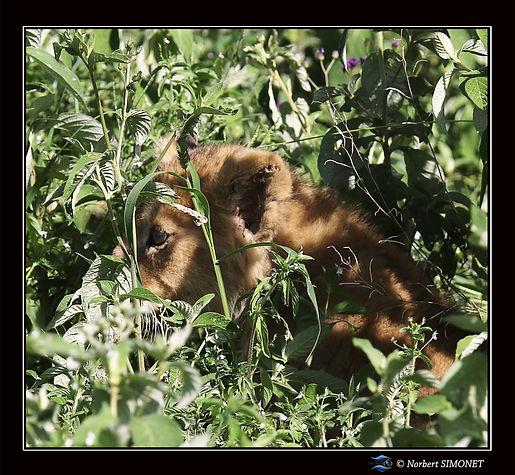 Lionceau_dans_les_herbes_GP_bis_-_Cadre_