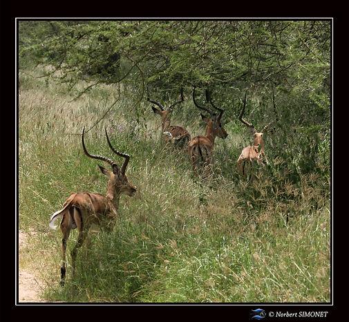 Gazelles de grant fuient - Cadre Carré -