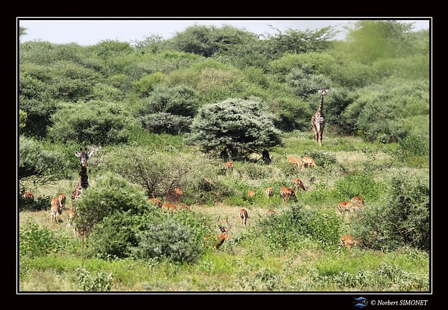 Girafe face dans le paysage bis - Cadre