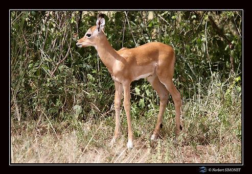 Gazelle juvénile - Cadre Paysage - Seren