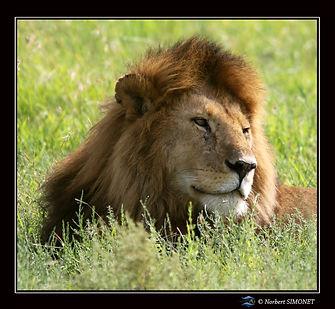 Lion_tête_profil_GP_-_Cadre_Carré_-_Se