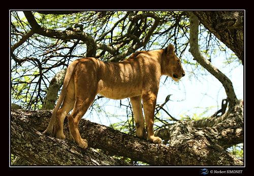 Lionne debout dans un arbre - Cadre Pays
