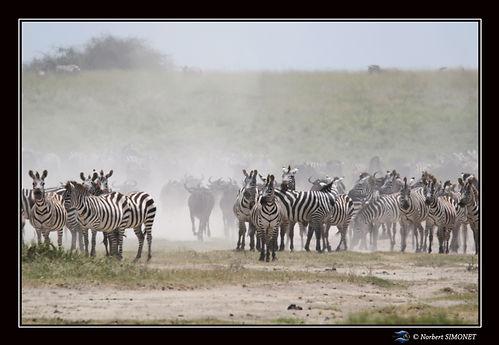 Zèbres_et_gnous_troupeau_en_migration_-