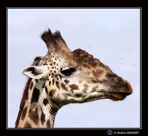 Girafe_tête_GP_-_Cadre_Carré_-_Plaines