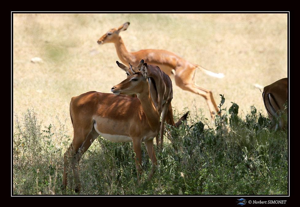 Impalas de profil - Cadre Paysage - Parc