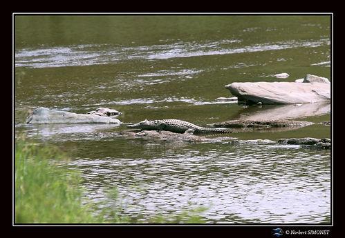 Crocodile mare aux hippopotames - Cadre