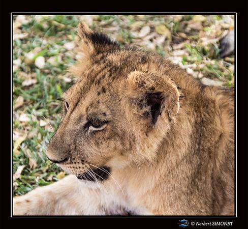 Lionceau profil guette - Cadre Carré - R