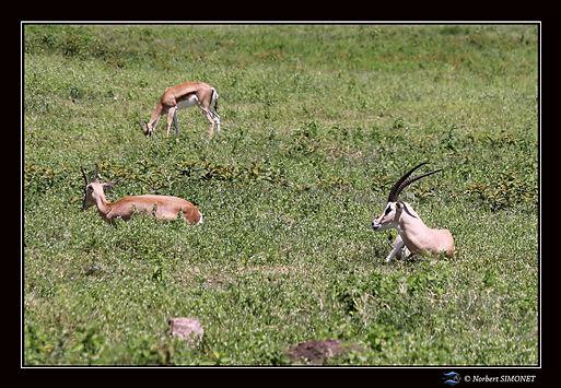 Impalas_dans_la_Caldeira_-_Cadre_Paysage