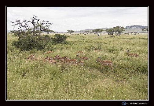Gazelles harem bis - Cadre Paysage - Ser