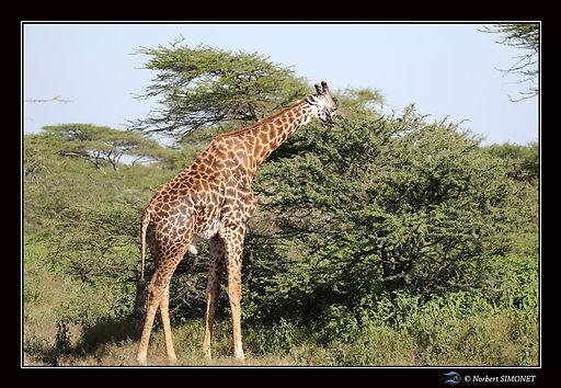 Girafe broute un accacia - Cadre Paysage