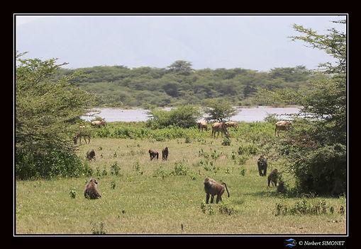 Babouins et gnous dans le paysage bis -