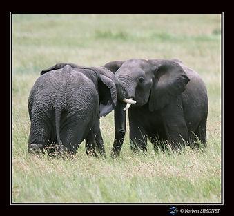 Eléphants_jouent_2_-_Cadre_Carré_-_Ser