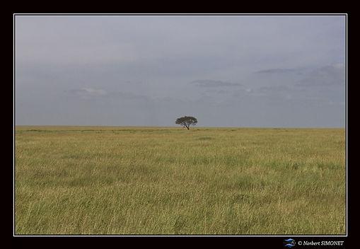 Arbre dans la plaine du Serengeti - Cadr