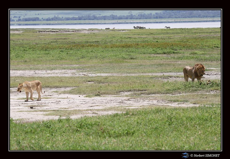 Lion_et_Lionne_séparés_-_Cadre_Paysage