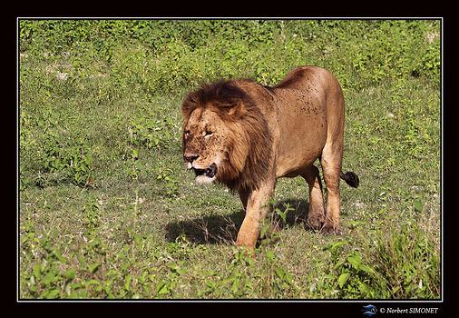 Lion marche face gauche - Cadre Paysage
