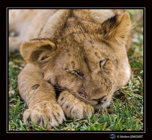 Lionceau dort face GP - Cadre Carré - Ra