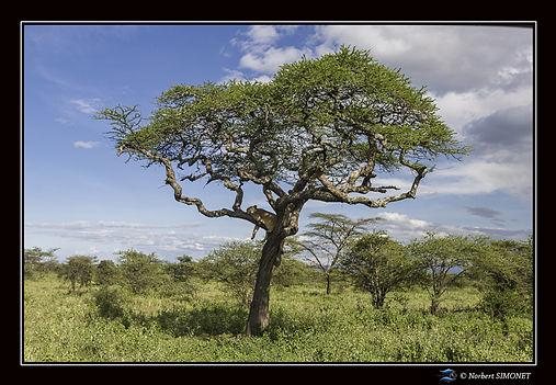 Lionne dans un arbre - Cadre Paysage - P