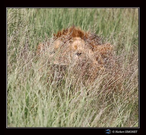 Lion_dans_les_herbes_-_Cadre_Carré_-_Pl