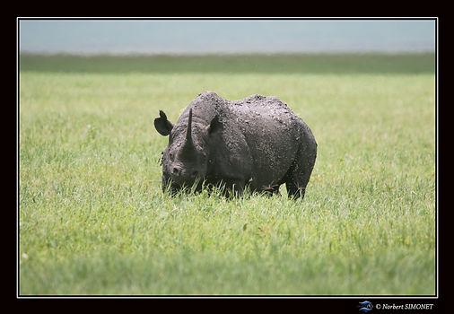 Rhinocéros_face_tête_basse_-_Cadre_Pay