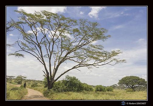 Arbre serengeti - Cadre Paysage - Sereng