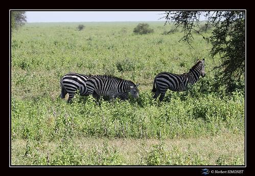 Zèbres dans la plaine - Cadre Paysage -