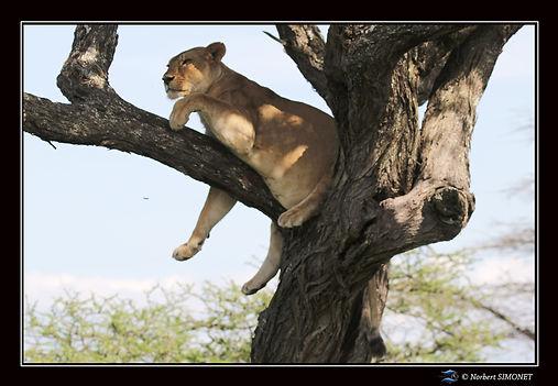 Lionne se redresse dans un arbre face -
