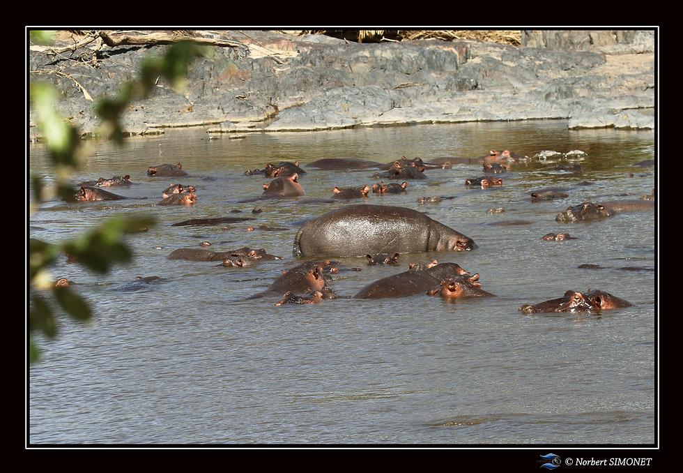 Hippopotames regroupés - Cadre Paysage -