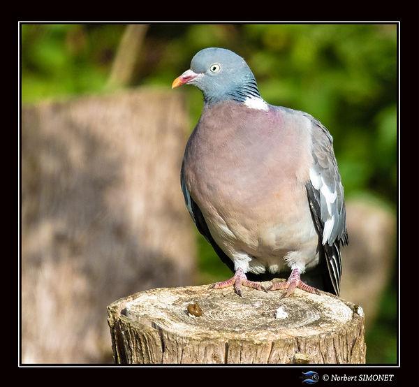 Pigeon_sur_tronc_GP_Carré_-_Plouasne_-30