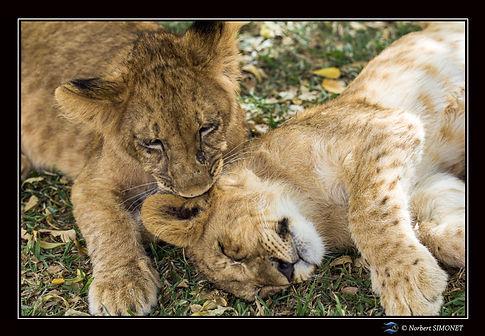 Lionceau mordant l'oreille - Cadre Paysa