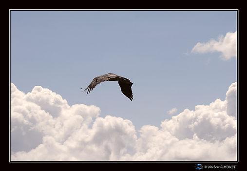 Vautour en vol - Cadre Paysage - Plaines