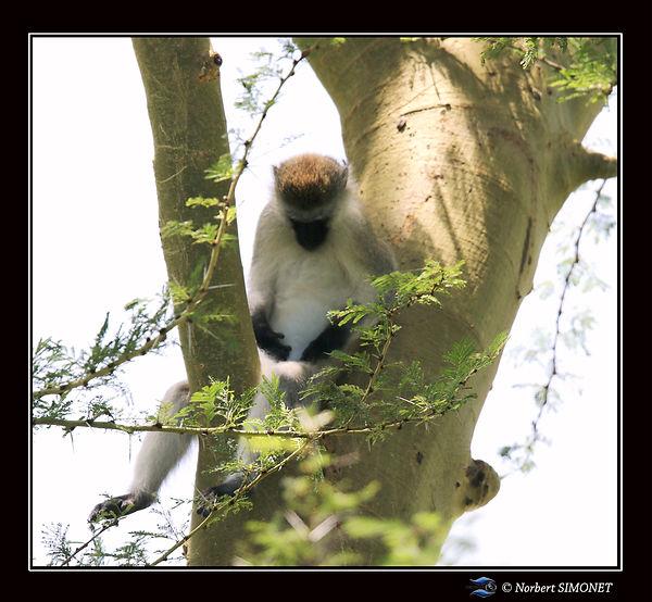 Vervet_assis_dans_un_arbre_-_Cadre_CarrÃ