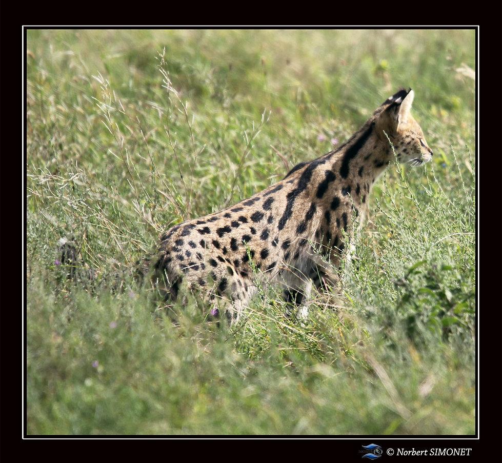Serval_de_profil_tête_levée_bis_-_Cadr