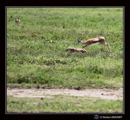 Chacal__attaqué_par_une_gazelle_de_Gran