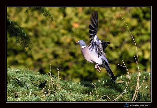 Pigeon s'envole 2 GP Paysage - Plouasne