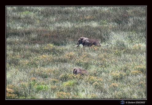 Elephants_dans_les_herbes_-_Cadre_Paysag