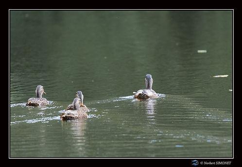 Canards nagent de dos - cadre Paysage - les Butineuses 28072021.jpg