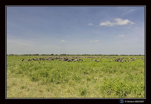 Gnous dans la plaine 2 - Cadre Paysage -