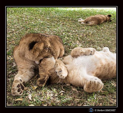 Lionceaux jouent 2 - Cadre Carré - Ranch