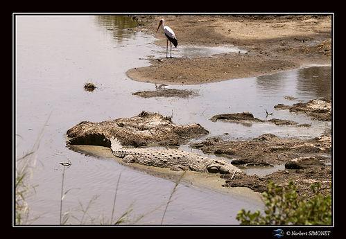 Crocodile du nil - Cadre Paysage - Seren