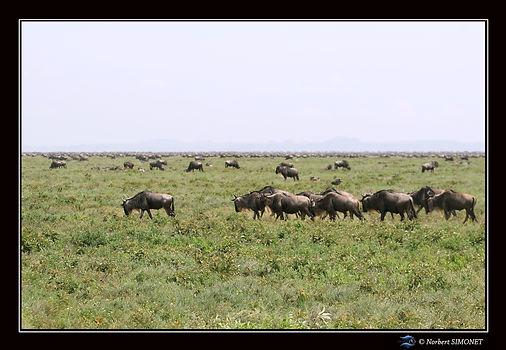 Gnous troupeau en migration - Cadre Pays