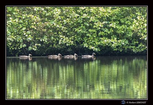 Canards nagent en file indienne - Cadre Paysage - Les Butineuses 28072021.jpg