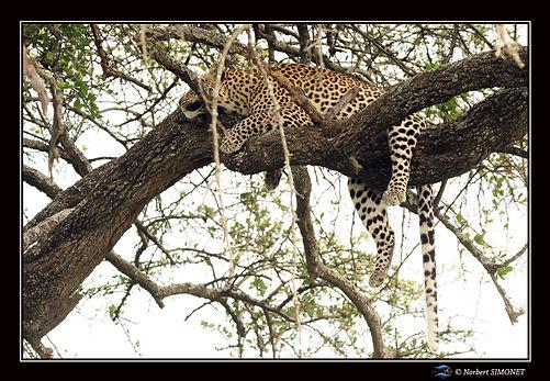 Léopard_couché_dans_un_arbre_bis_-_Cad