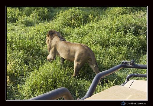 Lion devant la calandre - cadre Paysage
