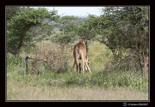 Girafe broute - Cadre Paysage - Serenget