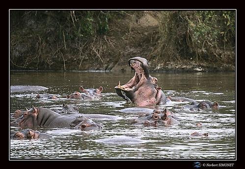Hippopotame gueule ouverte 4 - Cadre Pay